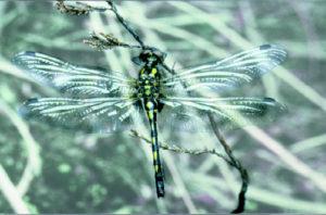 typisches Tier im Hochmoor: die Hochmoor-Mosaikjungfer (Libelle) © unbekannt