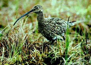 Großer Brachvogel © Land OÖ/ T. Mörtelmaier