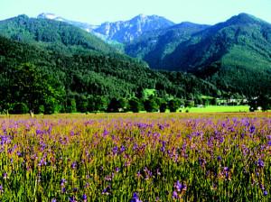 Blüte der Sibirischen Schwertlilie © Landratsamt Traunstein