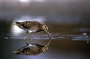 Auch die sehr seltene Bekassine lebt im Wenger Moor © P. Buchner