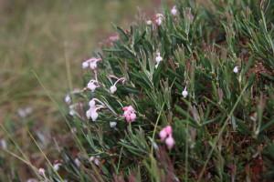 typische Pflanze im Hochmoor: die Rosmarinheide © S. Kattari